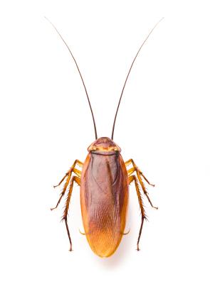 Crawling Cockroach