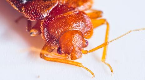Bedbug Close-Up