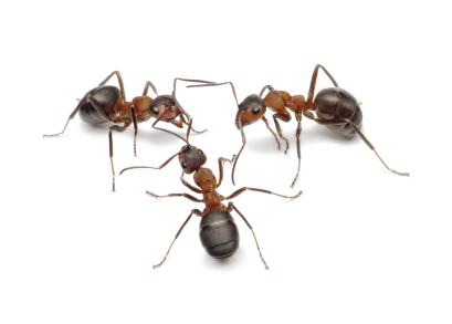 3 Ants
